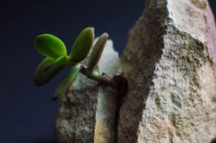 Close-up viewof the gray rock split in two parts with the small green succulent plant. Motivational concept of stamina, strength, Royalty Free Stock Photo
