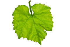 Close up of vine leaf Stock Photography