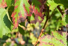 Close up of red vine leaves in autumn royalty free stock photos