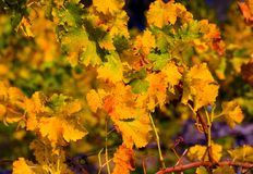Close-up of Vineyard. In Napa Valley in Autumn Royalty Free Stock Photos