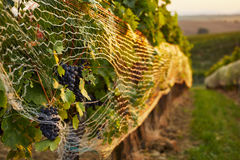 Close up of vineyard with protective nets Stock Image