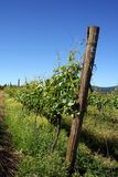 Close Up of Vineyard Row. A row of pinot noir grapes in spring Stock Images