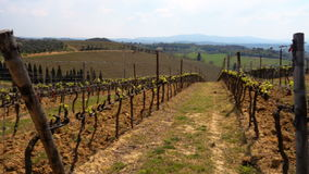 Close up of vineyard at the Toscana valley at the spring time stock video footage