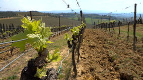 Close up of vineyard at the Toscana stock video