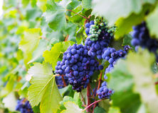 Close-up of vineyards plant Stock Photo