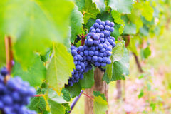 Close-up of vineyards plant Royalty Free Stock Images