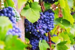 Close-up of vineyards plant Royalty Free Stock Photography