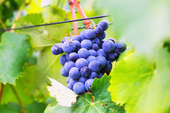 Close-up of vineyards plant in  august day Royalty Free Stock Photography