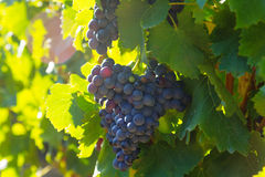 Close-up of vineyards plant Royalty Free Stock Image
