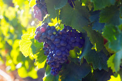 Close-up of vineyards plantation Royalty Free Stock Photo