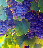 Close-up of vineyards plantation Stock Images