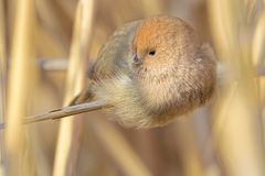 Vinous-throated Parrotbill royalty free stock photo