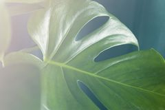 Monstera deliciosa vintage effect. Close-up with vintage effect of a leaf of monstera deliciosa plant leaf in front of a curtain of the same color. Gradient Stock Images
