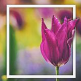 Close up vintage photo of Pink violet tulip. It is beautiful nature background with flower and blurred background. There is a. White square for your text for stock photo