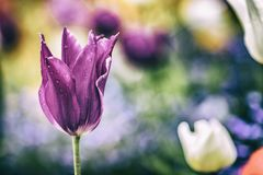 Close up vintage photo of Pink violet tulip, macro shot of bud in garden. It is beautiful nature background with flower and. Blurred background. There is spring stock image