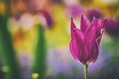 Close up vintage photo of Pink violet tulip, macro shot of bud in garden. It is beautiful nature background with flower and. Blurred background. There is spring royalty free stock photography