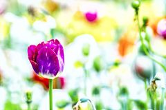 Close up vintage photo of violet tulip, macro shot of bud in garden. It is beautiful nature background with flower and blurred. Background. There is spring time stock photo