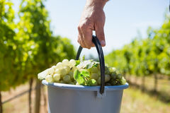 Close-up of vintner carrying harvested grapes in bucket. At vineyard Royalty Free Stock Photo
