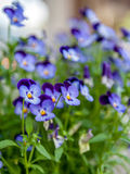 Close up of viola garden Royalty Free Stock Photo