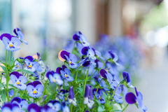 Close up of viola garden Royalty Free Stock Photography