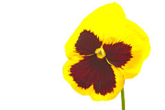 Close up of viola pansy flower isolated Stock Image