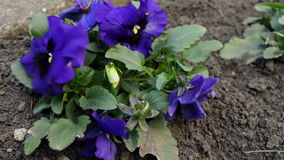 Close-up Viola Tricolor Flower met het Groene Gebladerte en Lieveheersbeestje Lopen stock footage