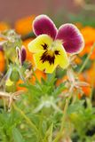 Close-up of Viola tricolor on natural background in a garden Stock Image