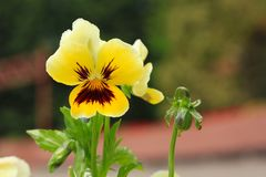 Close-up of Viola tricolor on natural background Stock Photos