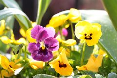 Violas purple and yellow close up in a garden border royalty free stock photos
