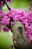 Close-up of violet blossoming Cercis siliquastrum plant at El Capricho garden in Madrid Spain. Close up of violet blossoming Cercis siliquastrum plant at El Royalty Free Stock Photography