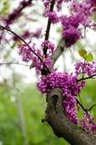 Close-up of violet blossoming Cercis siliquastrum plant at El Capricho garden in Madrid Spain. Close up of violet blossoming Cercis siliquastrum plant at El Stock Photos