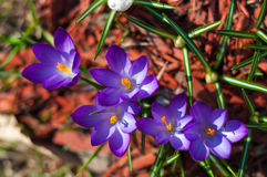 Close-up violet crocuses in garden with young green grass. Outdoor, spring Royalty Free Stock Image