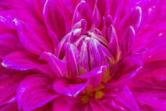 Close-up violet dahlia in bloom. Close-up dahlia in bloom in a Japanese garden near Tokyo Royalty Free Stock Photos