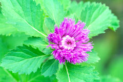 Close-up violet flower with green leaf. Close-up single violet flower with green leaf Royalty Free Stock Image