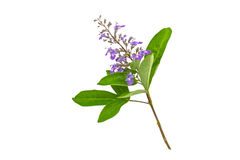 Close up violet flower Vitex trifolia Linn or Indian Privet is herb in Thailand,isolated on white.Saved with clipping p Stock Photos
