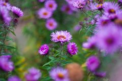 Close up of violet flower. The wind blows a bouquet of flowers in the evening sun stock image