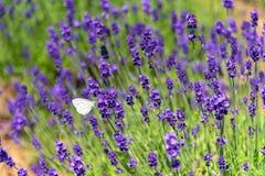 Close-up violet Lavender flowers field stock image