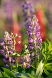 Close up of violet Lupin flowers in the meadow royalty free stock images