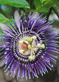 Close up of Violet Passiflora Stock Photos