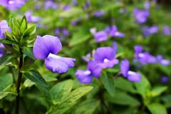 Close Up Violet or Purple colors of Beautiful Flower Blooming with Green Leaf Background. From Bangkok Thailand for wallpaper or background Royalty Free Stock Image