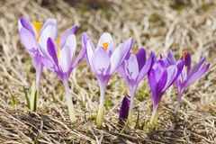Close -up of violet small crocus flowers Royalty Free Stock Images