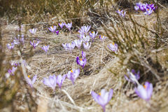 Close -up of violet small crocus flowers Royalty Free Stock Image