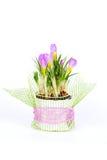 Close-up of violet spring crocus flower Stock Photo