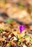 Close-up violeta bonito do açafrão Flor adiantada da mola, fundo marrom natural Copie o espaço, coloque-o para o texto Foto de Stock Royalty Free