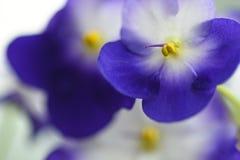 Close-up violeta da flor macro em um fundo claro Fotos de Stock Royalty Free