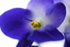 Close-up violeta da flor macro em um fundo claro Imagens de Stock