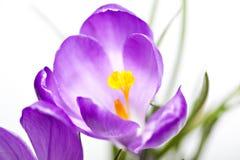 Close up violeta do açafrão Foto de Stock Royalty Free