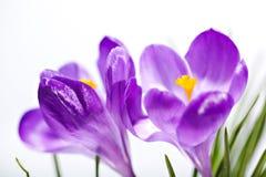 Close up violeta do açafrão Fotografia de Stock Royalty Free