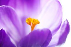 Close up violeta do açafrão Fotos de Stock