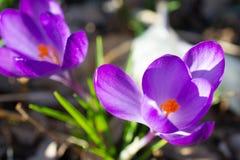 Close up violeta do açafrão Fotos de Stock Royalty Free